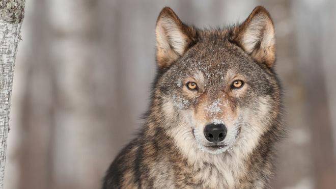 Loài sói