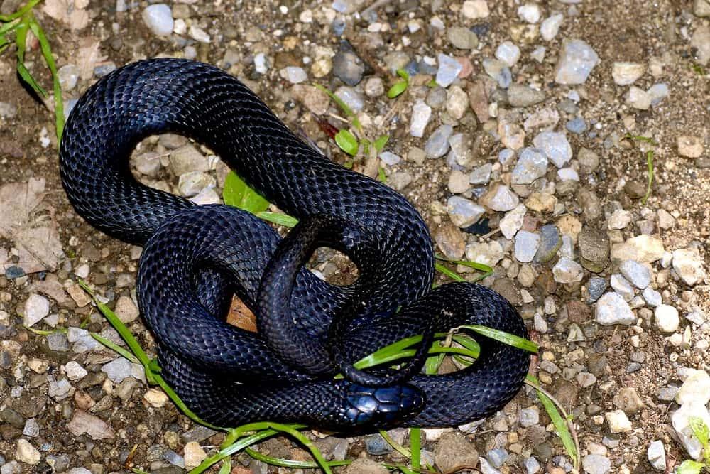 mơ thấy rắn đen