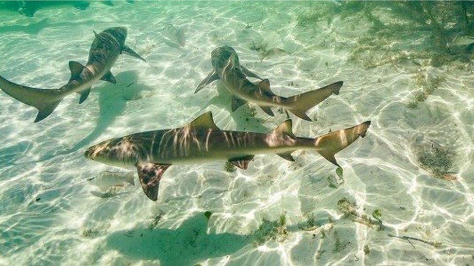 Mơ thấy cá mập là điềm lành hay dữ?